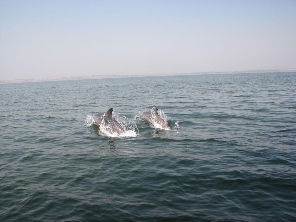 Дельфины охотятся за рыбкой