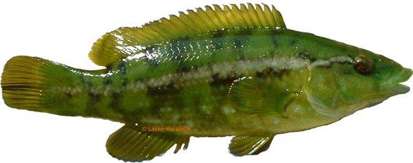 Губан зеленый (Labrus viridis (Linnaeus, 1758))
