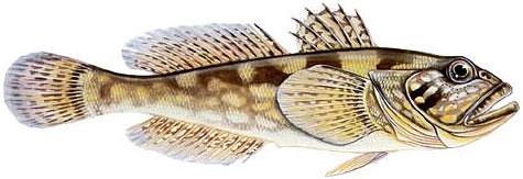 Бычок-рыжик (Neogobius cephalarges (Pallas, 1811))