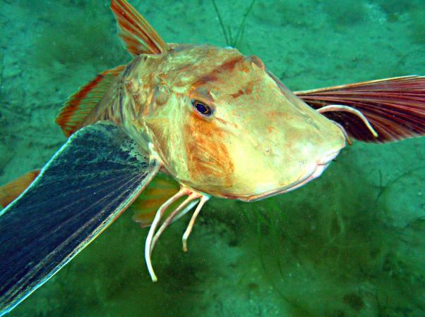 Морской петух (тригла серая) - Eulrigla gurnardus