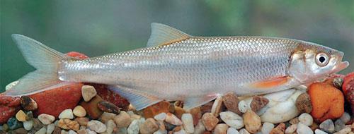 Шемая Дунайская (Chalcalburnus chalcoides mento)