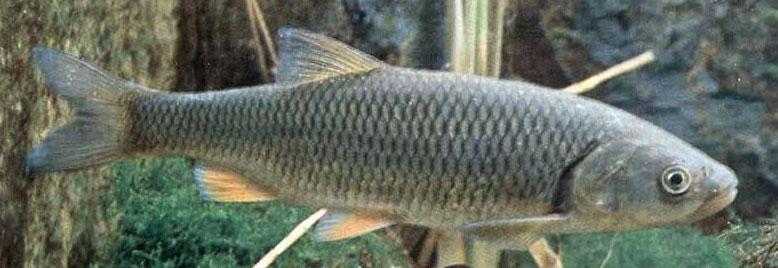 Рыбец малый (Vimba vimba tenella)