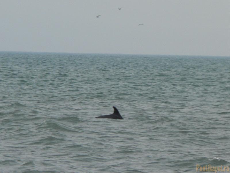 Дельфин охотится за рыбкой