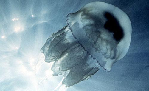 Черноморская Медуза - корнерот