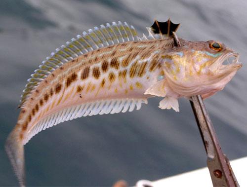 Самая опасная рыбка Черного моря