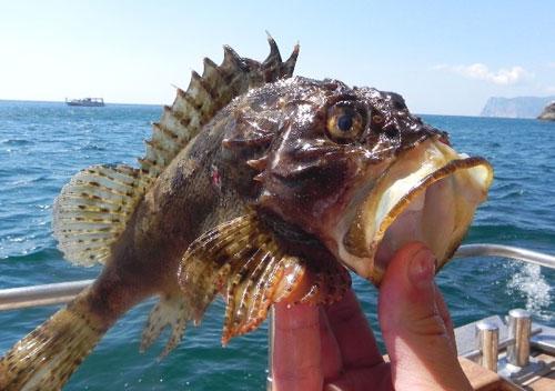 Морской Ерш, или Скорпена