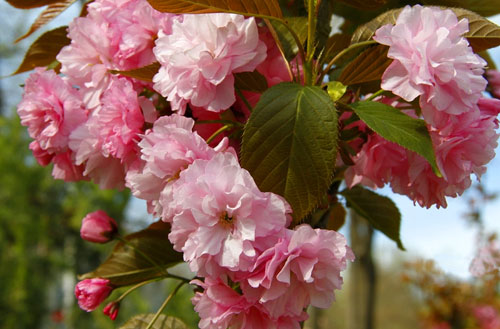 Цветущая сакура в Керчи