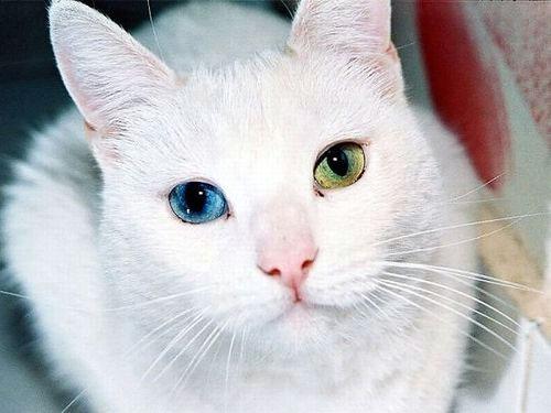 кошки-с-разноцветными-глазами в Турции