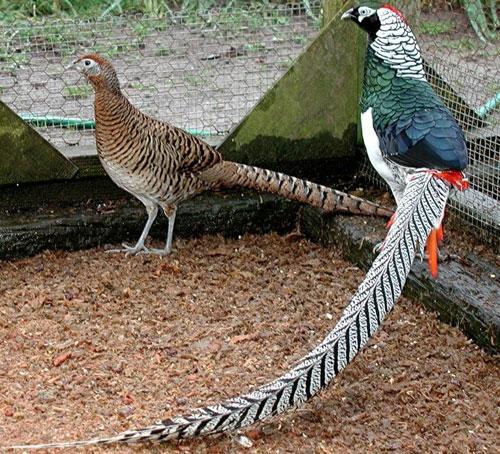 Самец и самка фазана