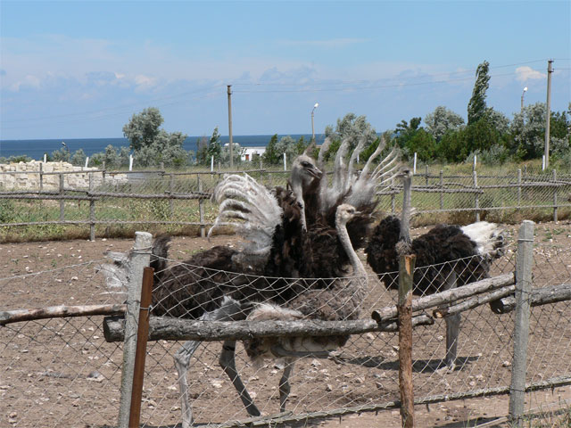 Страусиная ферма Экзотик, в Керчи