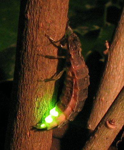 Светлячок ночью