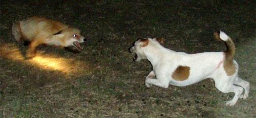 Охота на лису в Керчи