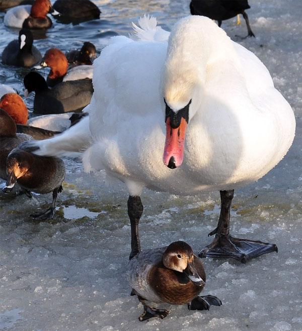 Лебеди в Керчи