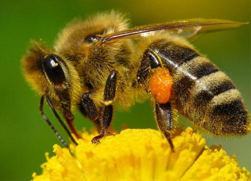 Пчела - друг человека