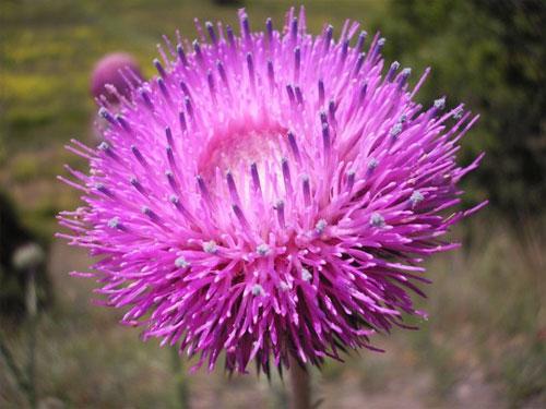 это – цветок обыкновенного репейника, растущего в Крымских горах