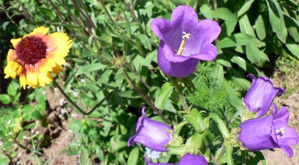 Цветы на огороде в Керчи