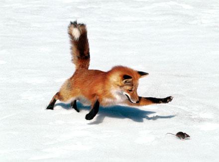лисица в Крыму истребляет грызунов