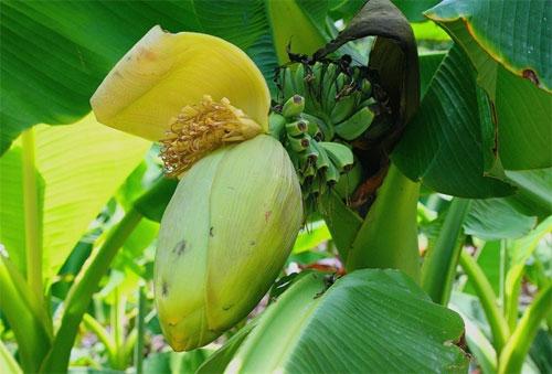 бананы в  никитском ботаническом саду