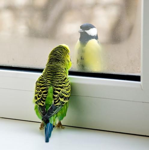 Пластиковые окна, попугай и синица