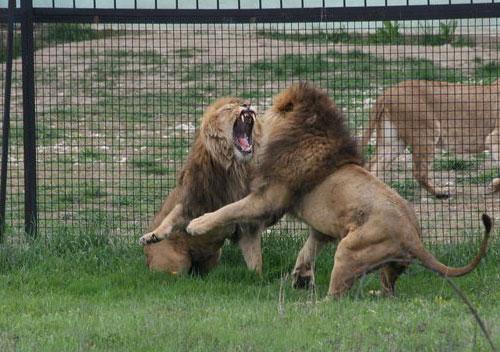 Львы на воле, Белогорск
