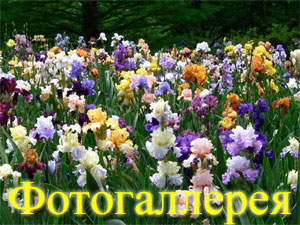 Никитский-сад-ирисы-2012