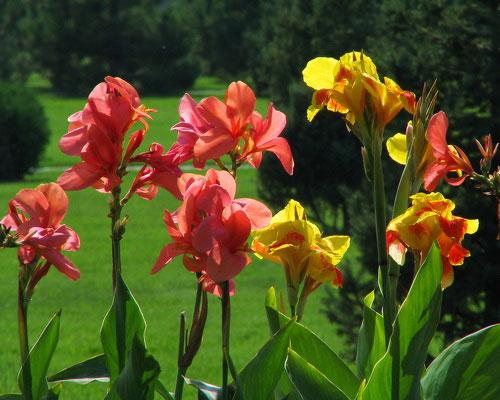 Цветение канны садовой