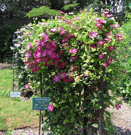 Цветение клематиса в Никитском саду