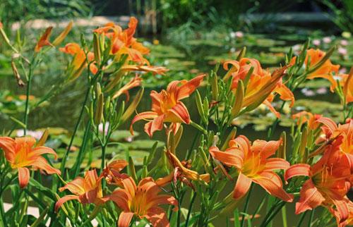 Никитский ботанический сад. Цветущий лилейник