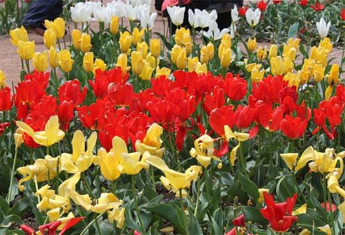 Крым.Никитский ботанический сад.Парад тюльпанов
