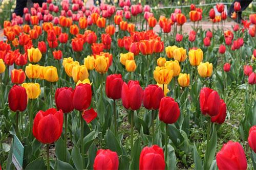 Парад тюльпанов в Никитском Бот. саду
