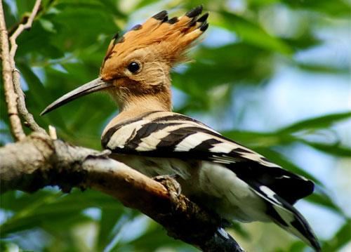 Удод - яркая и интересная птица