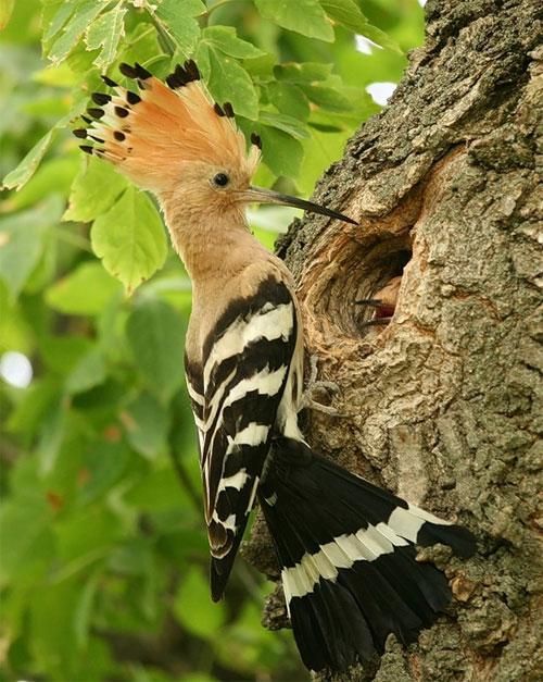 удод птица фото