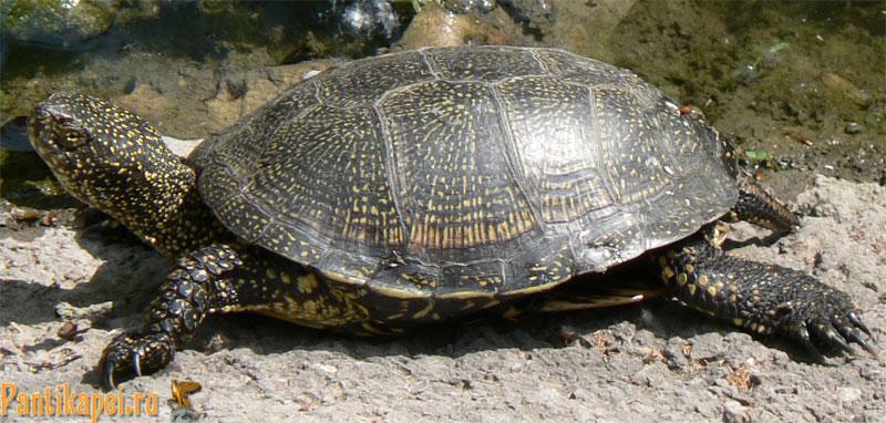 Черепаха в речке Мелек-Чесме, Керчь