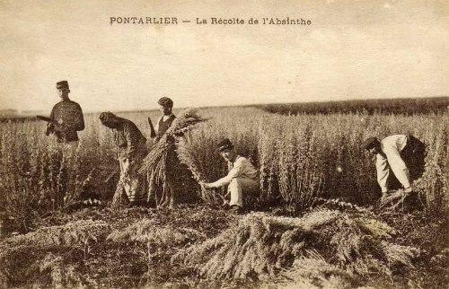 Artemisia-pontica-absent