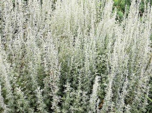 Artemisia-pontica