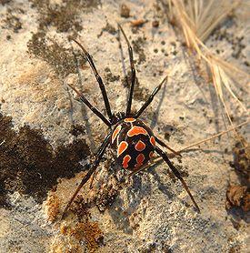 275px-Latrodectus_tredecimguttatus_female